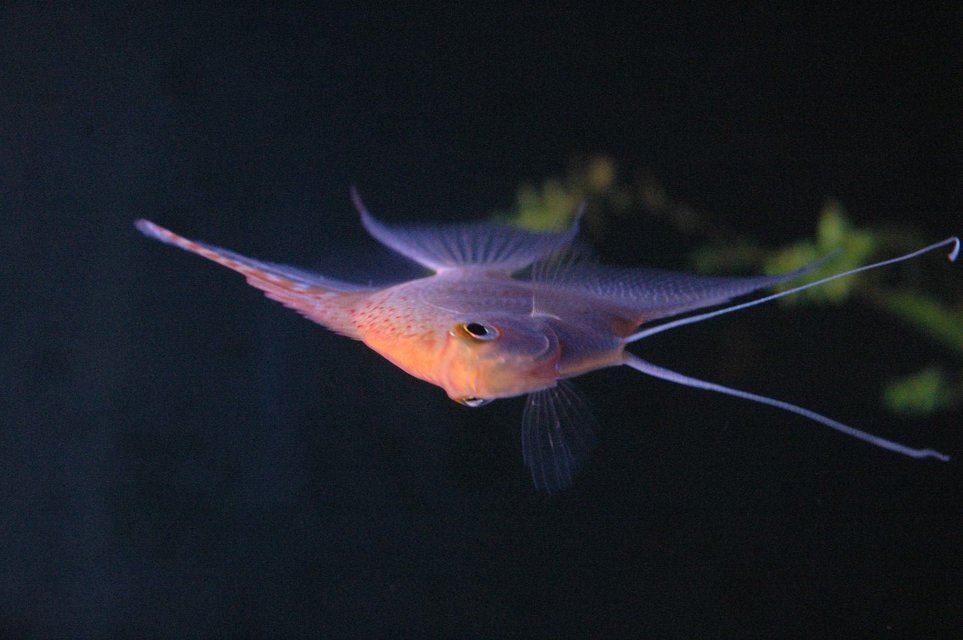 Rated #63: Freshwater Fish - Pterophyllum Sp. - White Blushing Angel Stocking In 90 Gallons Tank - my angel