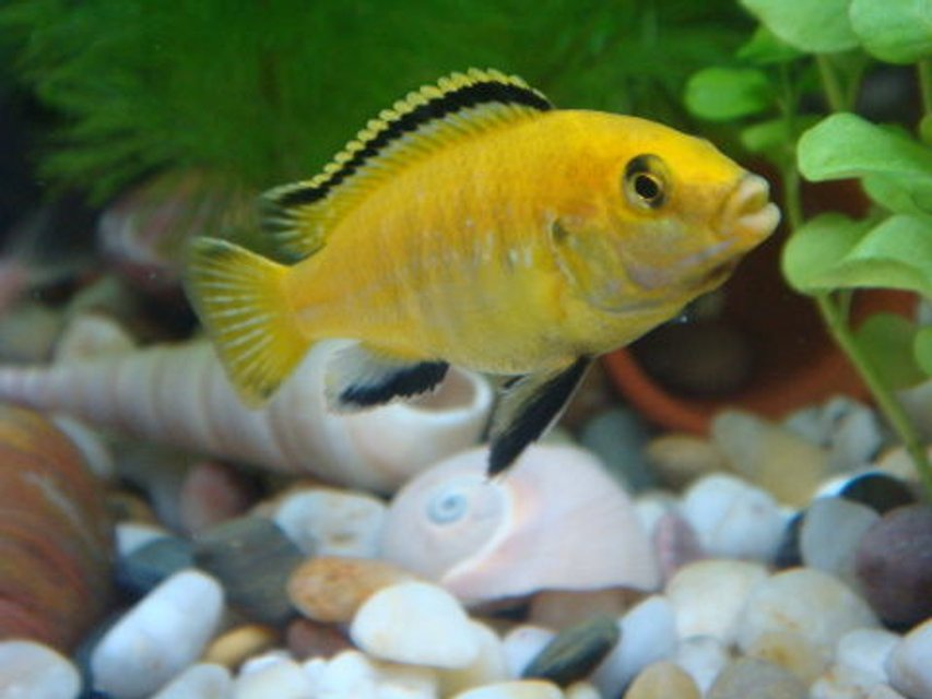 Rated #31: Freshwater Fish - Labidochromis Caeruleus - Electric Yellow Cichlid Stocking In 11 Gallons Tank - My first Electric Yellow Lab