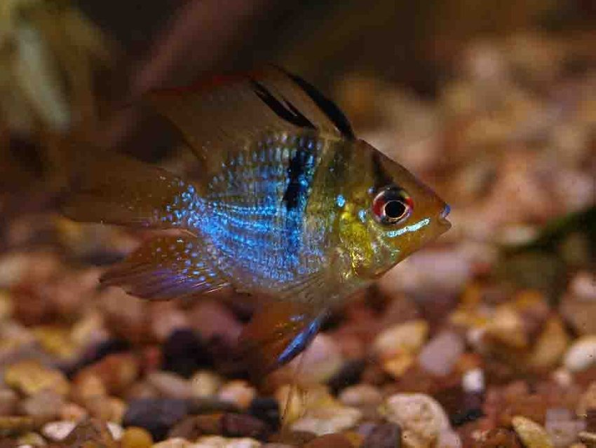 Rated #53: Freshwater Fish - Papiliochromis Ramirezi - German Blue Ram Stocking In 55 Gallons Tank - My little ram