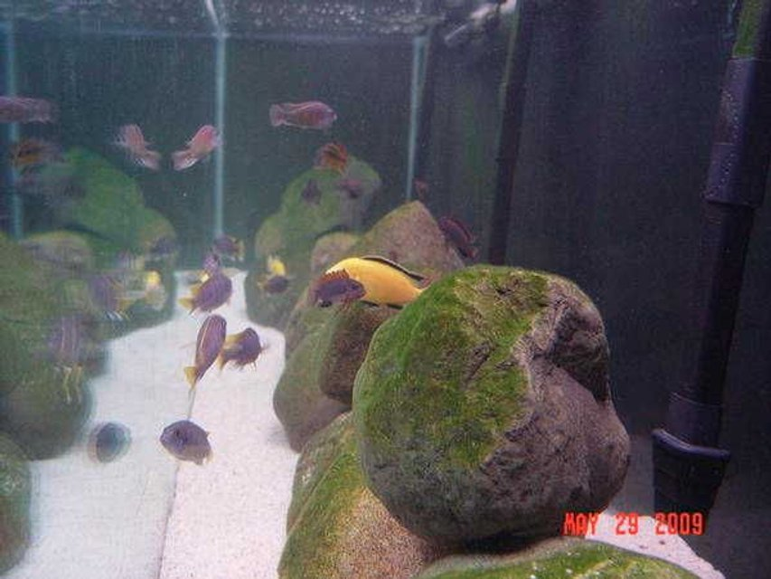 Rated #73: Freshwater Fish - Labidochromis Caeruleus - Electric Yellow Cichlid Stocking In 180 Gallons Tank - CLEAN WATER!!