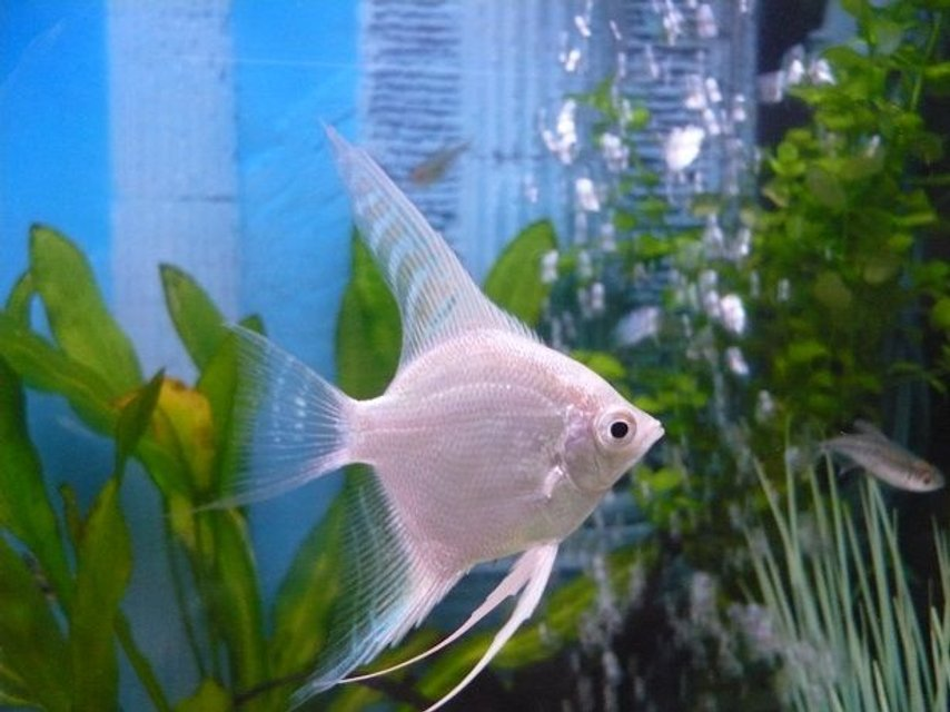 Rated #42: Freshwater Fish - Pterophyllum Sp. - Albino Angel Stocking In 55 Gallons Tank - white angel fish