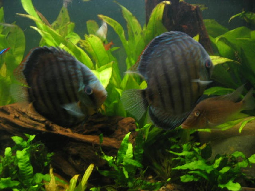 Rated #98: Freshwater Fish - Symphysodon Aequifasciata Sp. - Discus Stocking In 55 Gallons Tank - discus