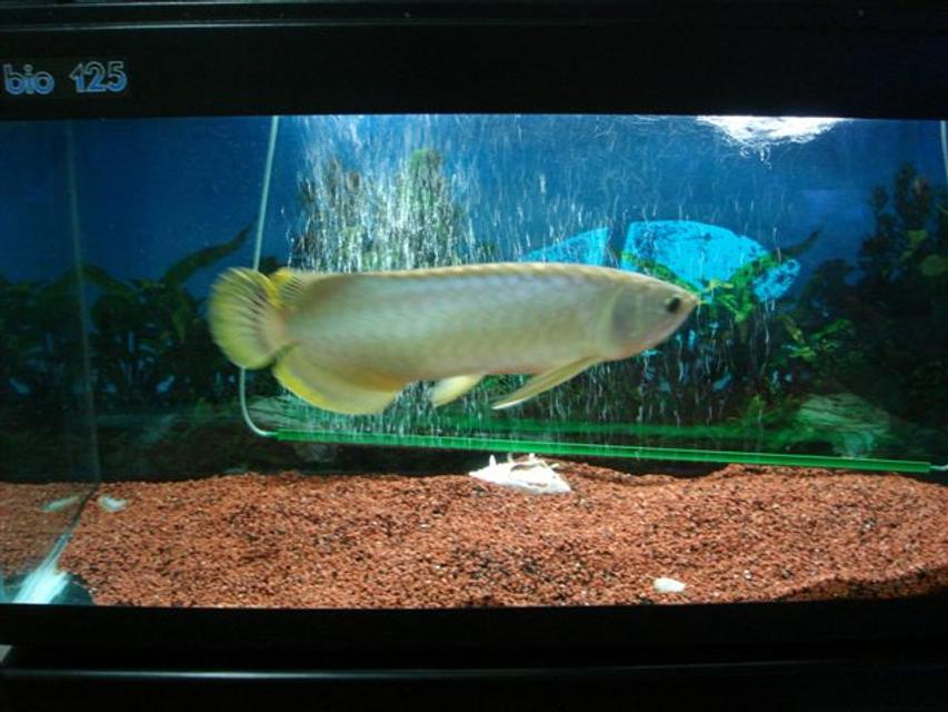 Rated #59: Freshwater Fish - Scleropages Jardini - Jardini Arowana Stocking In 50 Gallons Tank - my baby fish