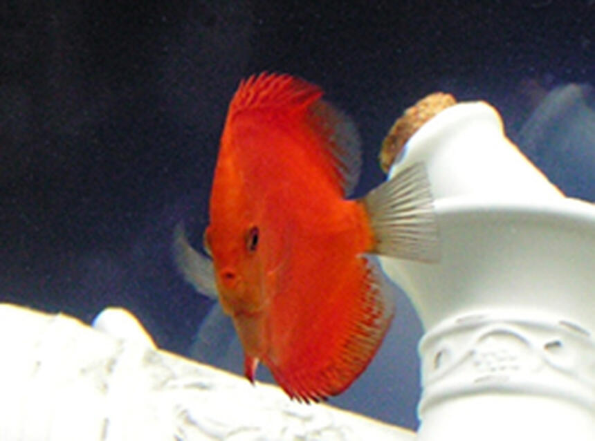 Rated #24: Freshwater Fish - Symphysodon Sp. - Red Marlboro Discus Stocking In 125 Gallons Tank - This is a 5.5 month old Malboro Red Discus :)