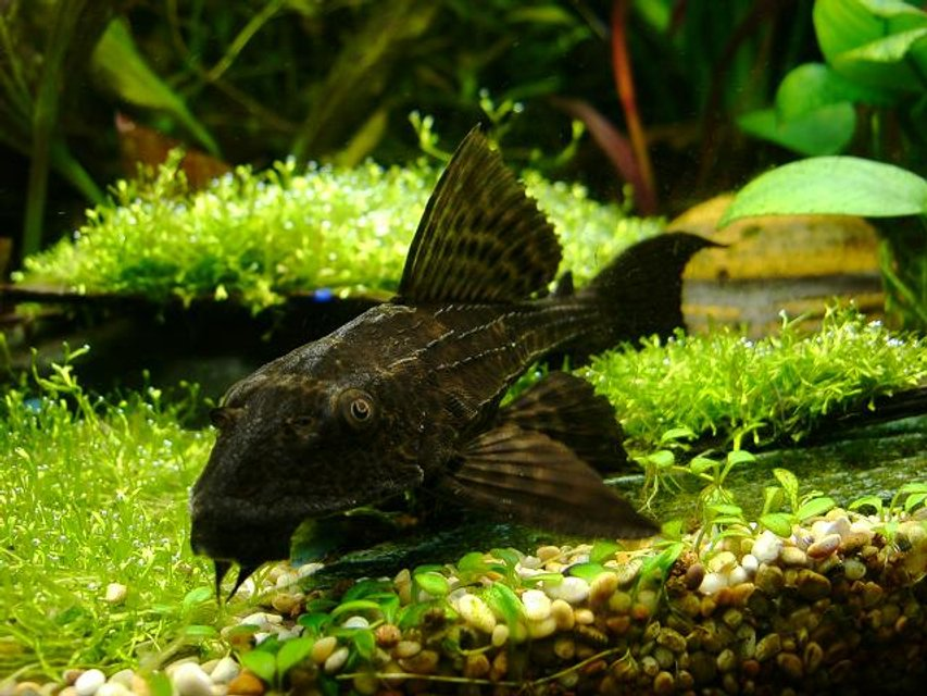 Rated #11: Freshwater Fish - Glyptoperichthys Gibbiceps - Sailfin Pleco (l-83) Stocking In 40 Gallons Tank - sainfin gibbiceps