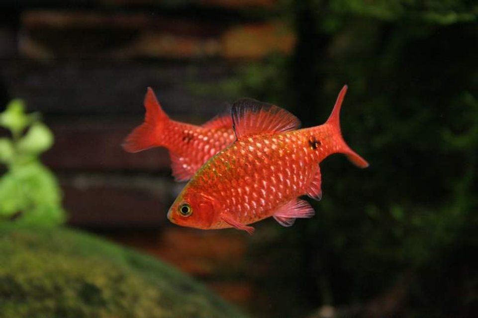 Rated #82: Freshwater Fish - Puntius Conchonius - Rosy Barb Stocking In 50 Gallons Tank - My phychotic rosey barbs!