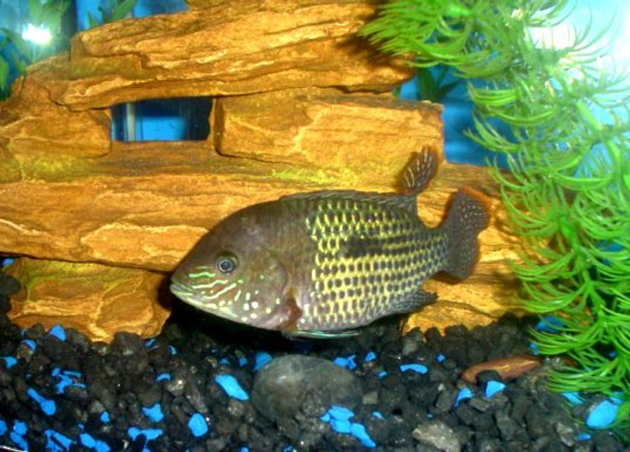 "Rated #93: Freshwater Fish - Aequidens Rivulatus - Green Terror Stocking In 55 Gallons Tank - 55 GAL....Tha home of my fishes....8"" PACU, 7"" OSCAR, 3 1/2 "" GREEN TERROR, 3"" CONVICT AND 1"" JACK DEMPSEY......"