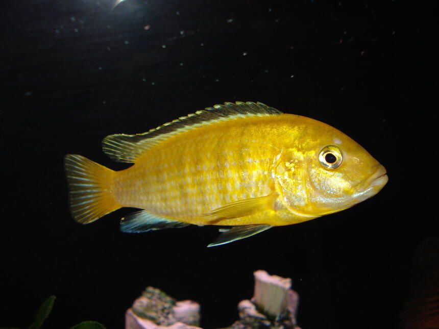 "Rated #18: Freshwater Fish - Labidochromis Caeruleus - Electric Yellow Cichlid Stocking In 55 Gallons Tank - ""Sunshine"" My Yellow Lab."