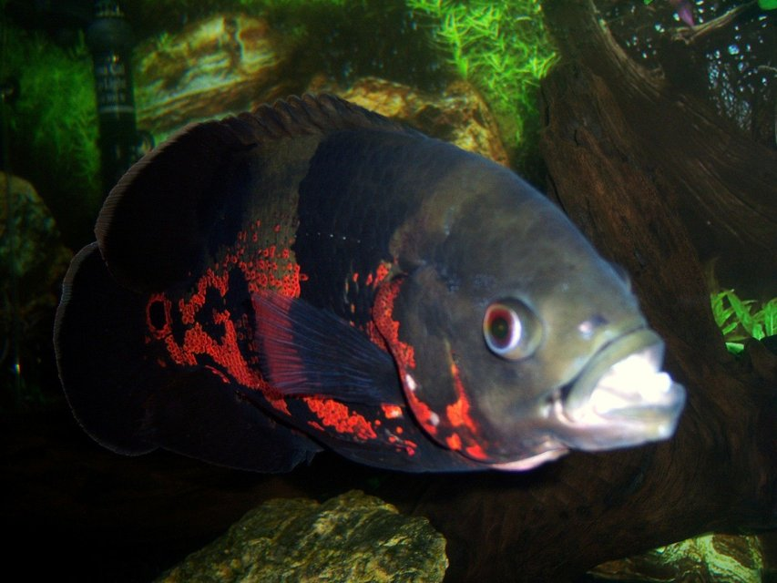 Rated #27: Freshwater Fish - Astronotus Ocellatus - Tiger Oscar Stocking In 75 Gallons Tank - 1 year old Tiger Oscar