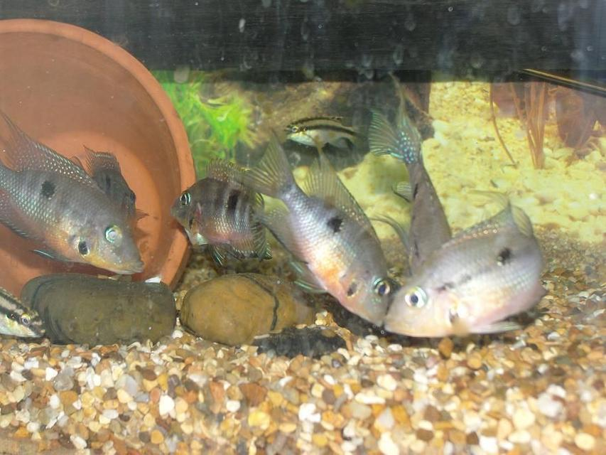 Rated #71: Freshwater Fish - Thorichthys Meeki - Firemouth Cichlid Stocking In 50 Gallons Tank - firemouths