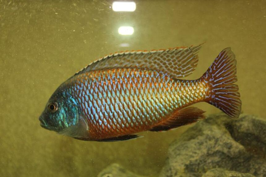 Rated #31: Freshwater Fish - Protomelas Taeniolatus - Red Empress Stocking In 55 Gallons Tank - Red Empress