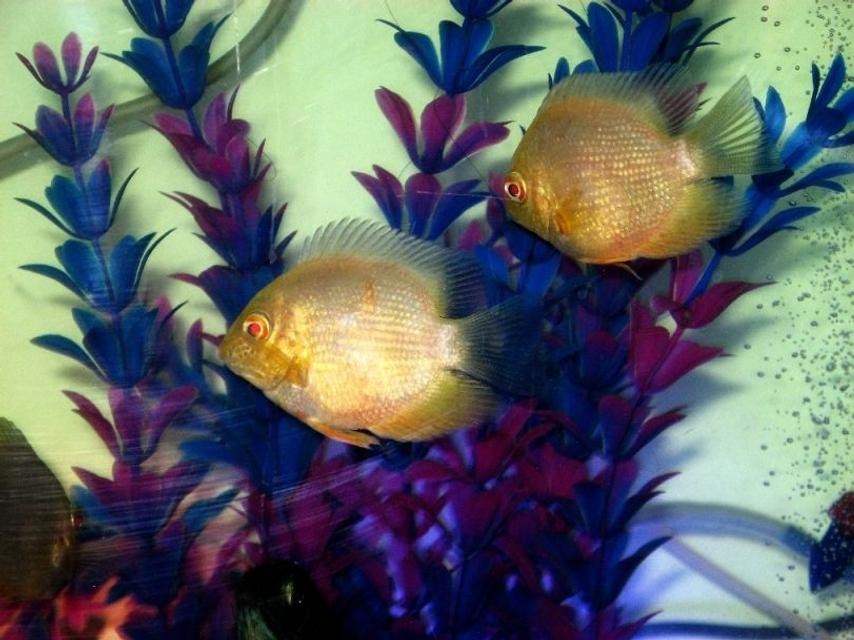 Rated #52: Freshwater Fish - Heros Serverus - Gold Severum Stocking In 100 Gallons Tank - My Golden Severums....