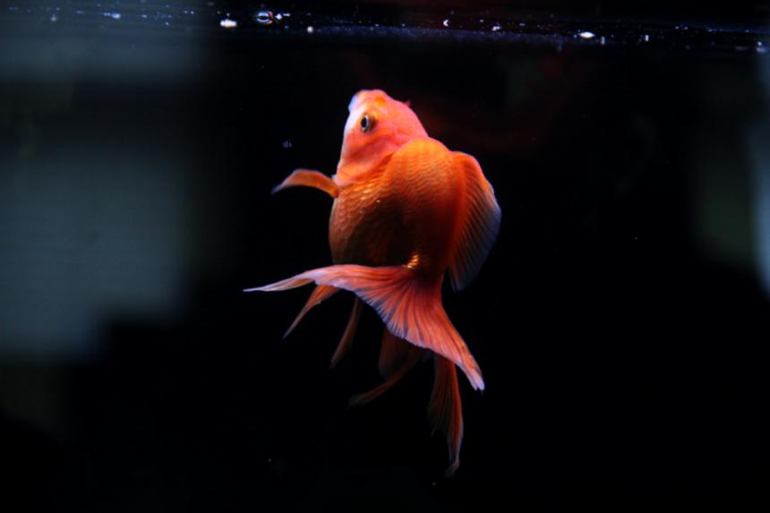 Rated #44: Freshwater Fish - Carassius Auratus - Red Ryukin Goldfish Stocking In 90 Gallons Tank