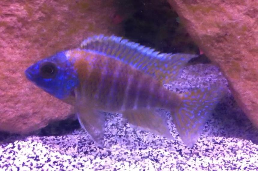 Rated #59: Freshwater Fish - Aulonocara Stuartgranti - Peacock Cichlid Stocking In 55 Gallons Tank - Picture of one of my Peacocks.