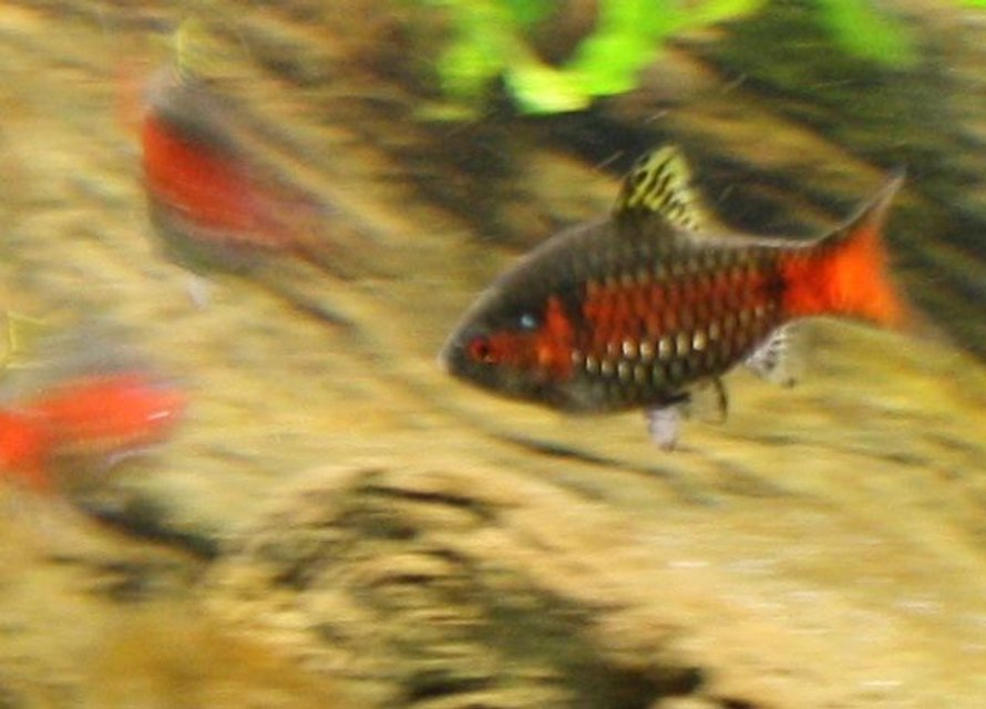 Rated #94: Freshwater Fish - Puntius Sp. - Odessa Barb Stocking In 150 Gallons Tank - Part of my school of Odessa barbs