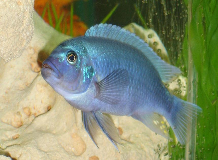 Rated #23: Freshwater Fish - Maylandia Callainos - Blue Cobalt Cichlid Stocking In 55 Gallons Tank - I belive this is a 
