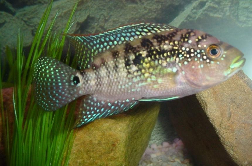 Rated #46: Freshwater Fish - Nandopsis Octofasciatum - Jack Dempsey Stocking In 55 Gallons Tank - jack dempsey