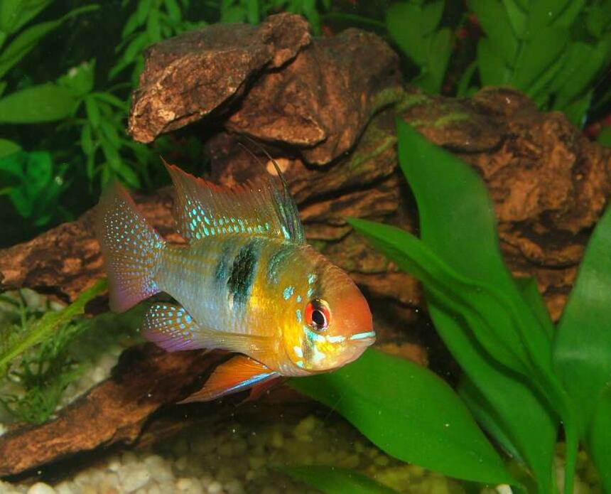 Rated #43: Freshwater Fish - Papiliochromis Ramirezi - German Blue Ram Stocking In 46 Gallons Tank - German Blue Ram