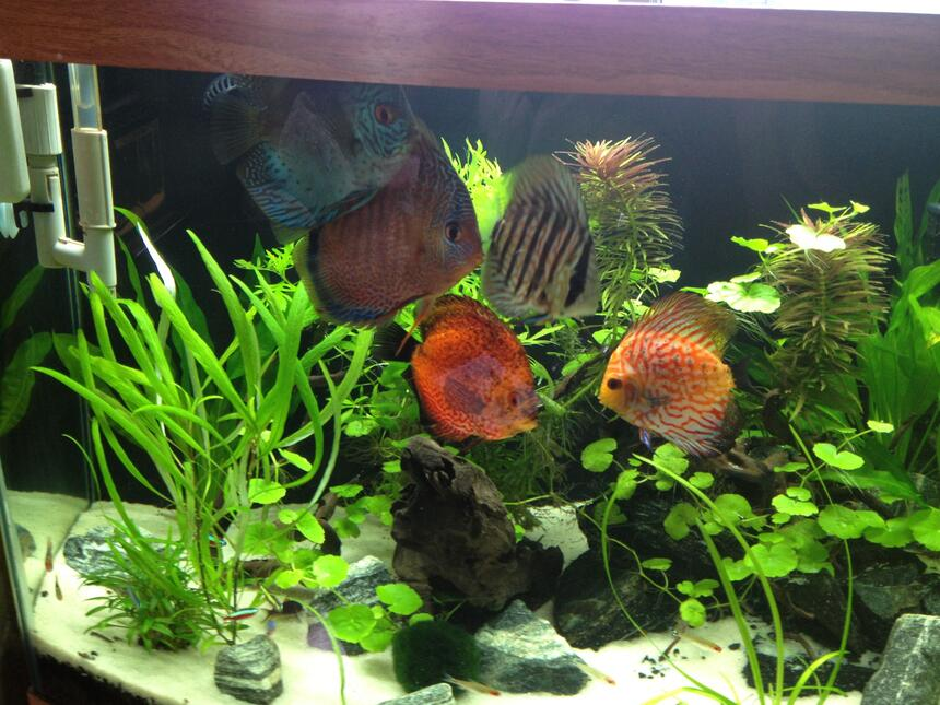 Rated #5: Freshwater Fish - Symphysodon Aequifasciata - Green Discus Stocking In 49 Gallons Tank - My Fish