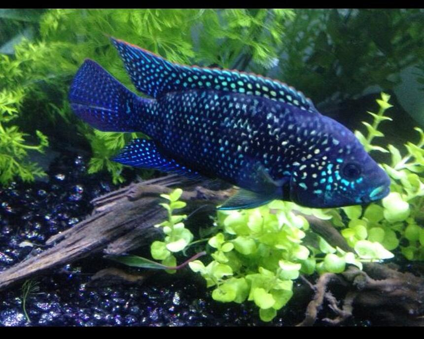 Rated #1: Freshwater Fish - Nandopsis Octofasciatum - Jack Dempsey Stocking In 60 Gallons Tank - Not Your Everyday JD
