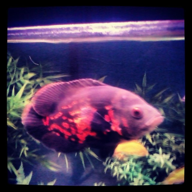 Rated #42: Freshwater Fish - Astronotus Ocellatus - Tiger Oscar Stocking In 40 Gallons Tank - Tiger Oscar