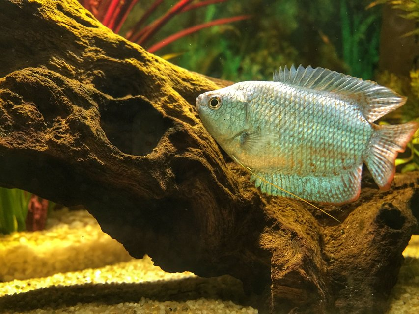 Rated #3: Freshwater Fish Stocking In 14 Gallons Tank - Our Dwarf Gourami, 'Michael'.