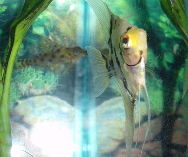 Rated #96: Freshwater Fish - Pterophyllum Scalare - Assorted Veil Angel Stocking In 29 Gallons Tank - My angelfish with a synodontis catfish in the background. I thought the shot was cool. :) I like how the fins are in focus.