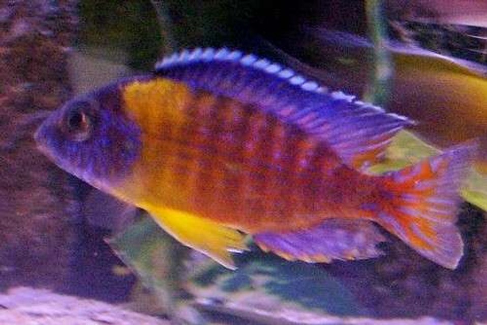 Rated #83: Freshwater Fish - Aulonocara Rubescens - Ruby Red Peacock Stocking In 95 Gallons Tank - Wild caught Aulonocara stuartgranti (blue neon Undu Reef)