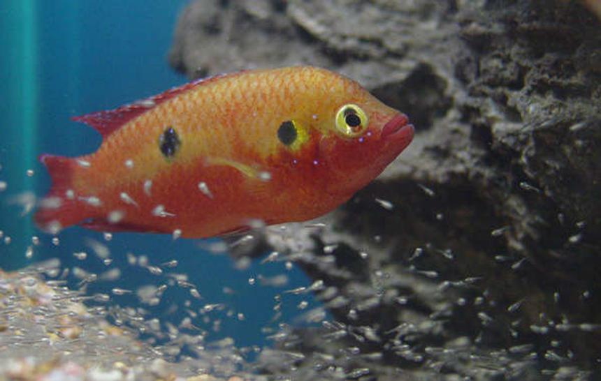 Rated #30: Freshwater Fish - Hemichromis Bimaculatus - Jewel Cichlid Stocking In 150 Gallons Tank - Jewel and fry. About 6 days old.