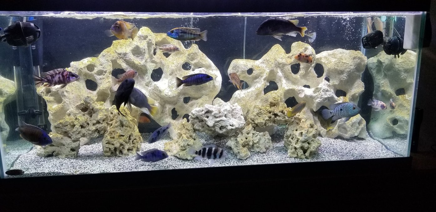 freshwater fish stocking in 55 gallons tank - 75 African Cichlid