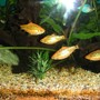 freshwater fish - puntius sachsii - gold barb stocking in 21 gallons tank - Golden Barbs