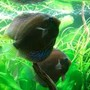 freshwater fish - symphysodon aequifasciata - royal blue discus stocking in 180 gallons tank - my discus