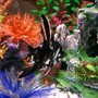 freshwater fish - pterophyllum sp. - assorted veil angel - Angelfish..