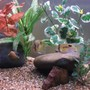 freshwater fish - cleithracara maronii - keyhole cichlid stocking in 50 gallons tank - Keyhole Cichlid Pair Black Widow Tetras Harlequin Rasboras Snail