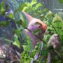 freshwater fish - pterophyllum sp. - white blushing angel stocking in 106 gallons tank - You can't see me!