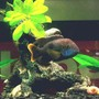 freshwater fish - herichthys carpinte - green texas cichlid stocking in 34 gallons tank - ....