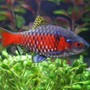 freshwater fish - puntius conchonius - rosy barb stocking in 75 gallons tank - my barbs in prime health