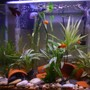 freshwater fish - xiphophorus maculatus - assorted platy stocking in 15 gallons tank - Good Group Shot!