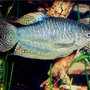 freshwater fish - trichogaster trichopterus - opaline gourami stocking in 72 gallons tank - Gourami