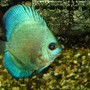 freshwater fish - symphysodon spp. - neon blue discus stocking in 110 gallons tank - nice cobalt blue discus