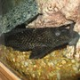 freshwater fish - glyptoperichthys gibbiceps - sailfin pleco (l-83) stocking in 100 gallons tank - this is monster my biggest pleco