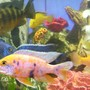 freshwater fish - labeotropheus fuelleborni - fuelleborni cichlid stocking in 90 gallons tank - A few Africans