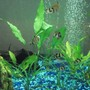 freshwater fish - puntius tetrazona - tiger barb stocking in 25 gallons tank - my tiger barbs