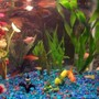 freshwater fish - helostoma temmincki - kissing gourami stocking in 30 gallons tank - pic