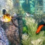 freshwater fish - carassius auratus - fantail goldfish stocking in 28 gallons tank - More fish...