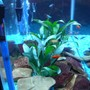 freshwater fish - xiphophorus helleri - red wag swordtail stocking in 33 gallons tank - my rocks and plants