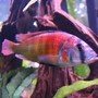 freshwater fish - pundamilia nyererei - nyererei hap stocking in 125 gallons tank - colorful & healthy