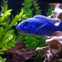 freshwater fish - sciaenochromis fryeri - electric blue hap stocking in 125 gallons tank - Beautiful Blue