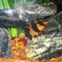 freshwater fish - botia macracantha - clown loach stocking in 125 gallons tank - Clown Loaches