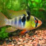 freshwater fish - papiliochromis ramirezi - german blue ram stocking in 10 gallons tank - german ram